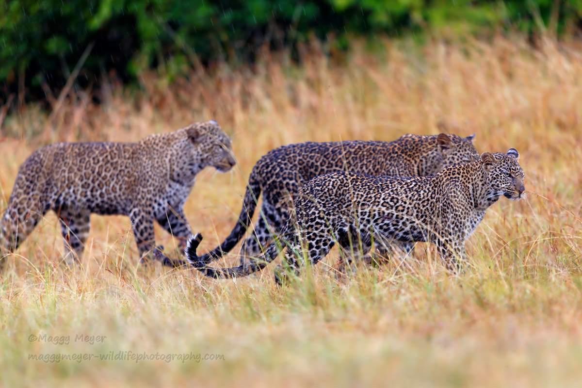 African leopard cubs